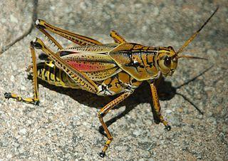 320px nln eastern lubber grasshopper