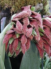 180px bulbophyllum phalaenopsis   flickr 003