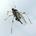 Longistigma caryae   giant bark aphid