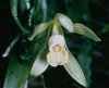 Vanilla planifolia 1