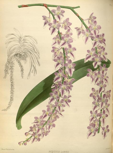 R. warner   b.s. williams   the orchid album   volume 01   plate 021 %281882%29