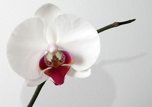 800px phalaenopsis orchid