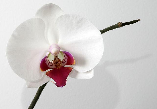 800px phalaenopsis orchid