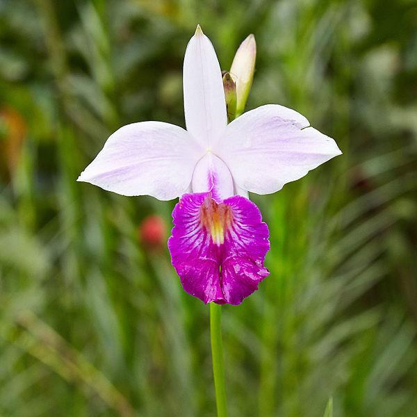 Arundina graminifolia img 0724