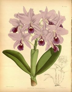 R. warner   b.s. williams   the orchid album   volume 07   plate 323 %281888%29