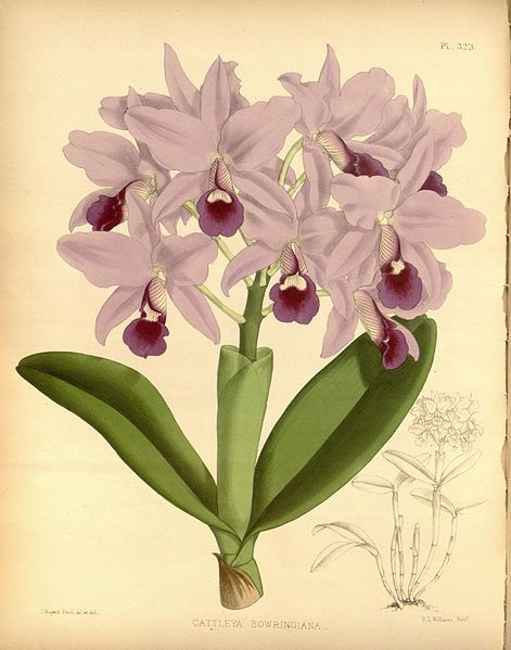 R. warner   b.s. williams   the orchid album   volume 07   plate 323 %281888%29