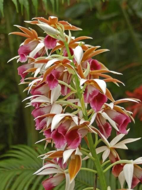 Orchidaceae   phaius tancarvilleae
