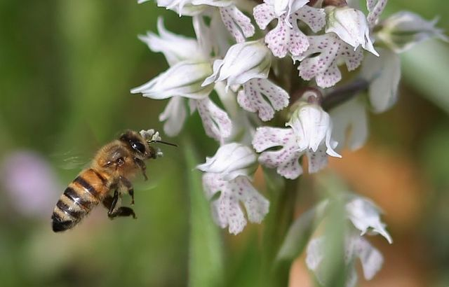 800px pollinisation lactea