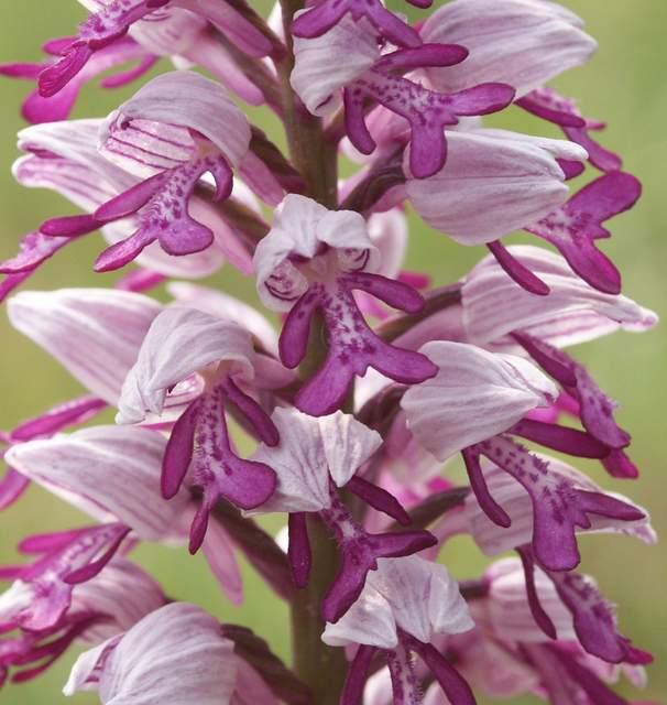 Orchis militaris flowers