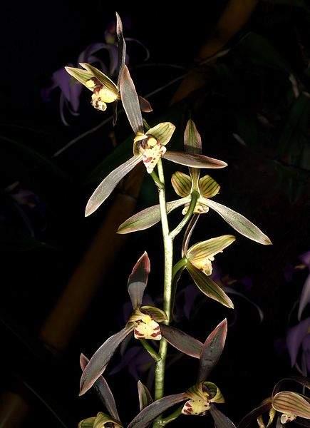 Cymbidium sinense orchi 191
