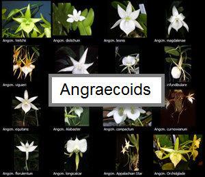 Angraecoids