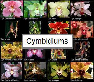 Cymbidiums