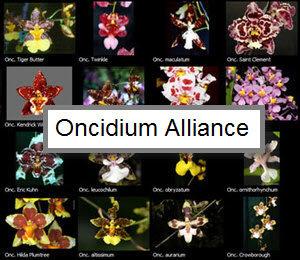 Oncidiinae