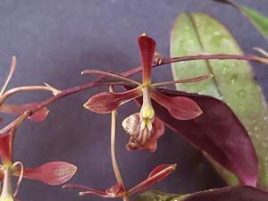 Epidendrum conopseum x melanoporphyreum flower closeup