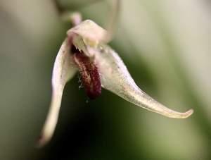 Pleurothallis stumpflei 2