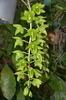 Clo. black jade 'nam fook 129' 2