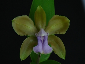 C bicolor coerulea n3