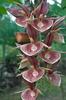 Ctsm. orchidglade 'elsa a'