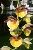 Ctsm. orchidglade 'lake view 1'
