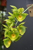 Ctsm. orchidglade 'green gold 1' 2a