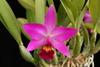 C. amethyst star 132