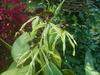 Epi. cochleatum 'black jack' 12s
