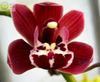 Cym fairy rouge 'lavender falls' ad csa %28540%29