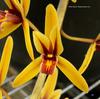 Cym aloifolium 'baptista's gold' hcc aos %28568%29