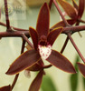 Cym canaliculatum var sparkesii 'sunswept red' %28112%29