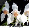 Cym erythrostylum 'stirling' 4n %28210%29