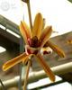 Cym finlaysonianum 'sboe' %28618%29