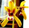 Cym finlaysonianum 'sp' %28319%29