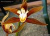 Cym lowianum var iansonii 'fcc rhs' %28851%29