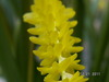 Ddc  wenzelii 'stirling yellow' %28006%294
