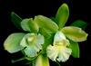 45 cattleychea siam jade