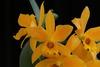 Cattlianthe gold digger
