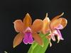 C bicolor 'mauro' x 'luiza' n%c2%b02
