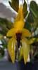 Bulbophyllum carunculatum 17 09 21%283%29