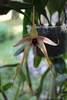 Bulbophyllum echinolabium 17 10 13%281%29