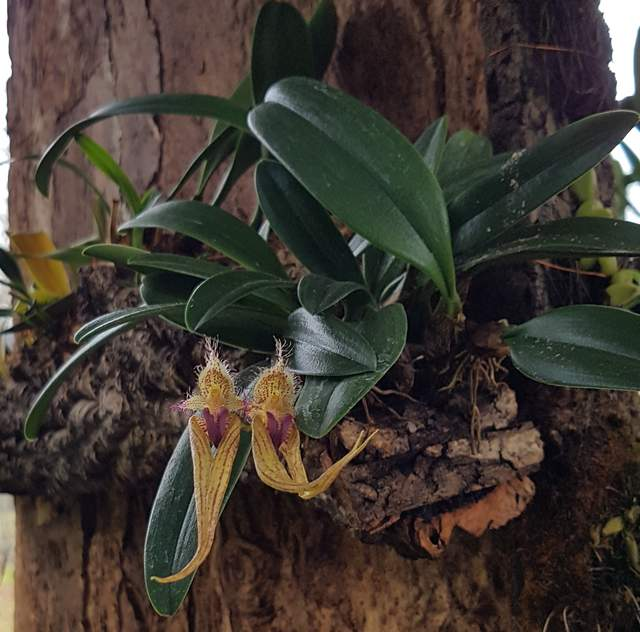 Bulbophyllum elyzabeth ann buckleberry 18 03 04%282%29