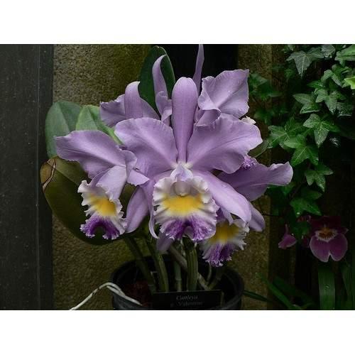 Cattleya valentine coerulea adathreestore 1705 02 f396029 2