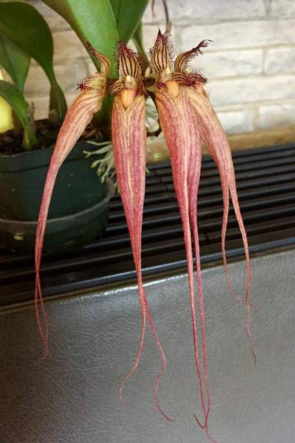 Bulbophyllum %e2%80%98elizabeth an