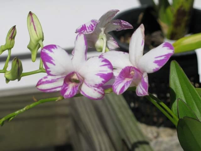 Dendrobium enobi purple splash 3 2 19