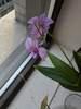 Dendrobium bigibbum var. compactum x