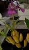 Purple miltonia crop