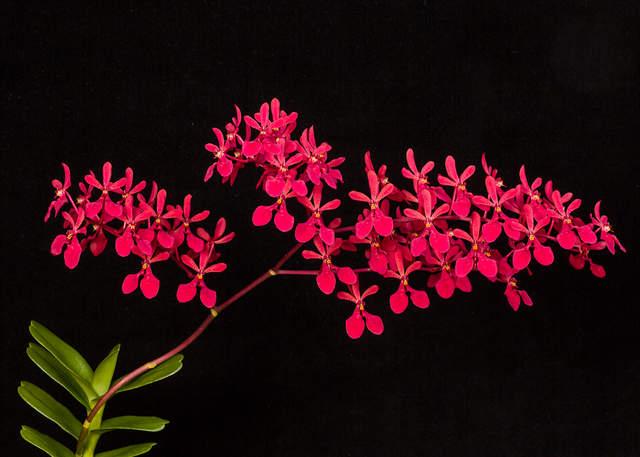 Renanthera kalsom 'red dragon' clone 2