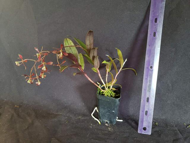 Epidendrum conopseum x melanoporphyreum my plant