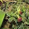 Epidendrum porpax 103019