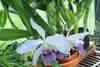 Cattleya gaskelliana 08 28 19