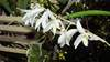 Dendrobium crumenatum 8491 072717